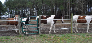 horses 10 on Dec 31 2014 no shelter or forage - Copy